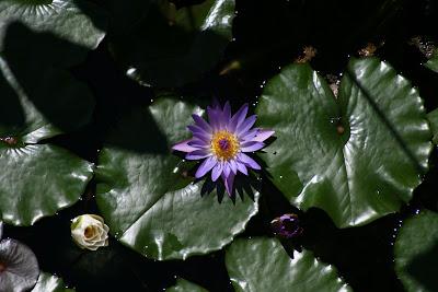 Getty Villa pond lilies