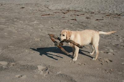 Beach stick pup