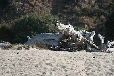 Bleached fallen tree at Sycamore Cove