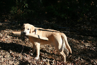 Cooper with his stick in Franklin Canyon Park