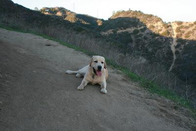 Tired Runyon Canyon ridge pup