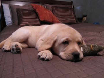 Sleepy 9 week old Labrador pup Maddie