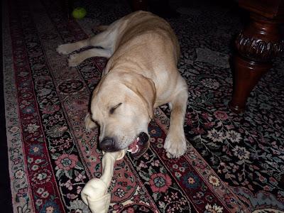 Pup enjoying his rawhide