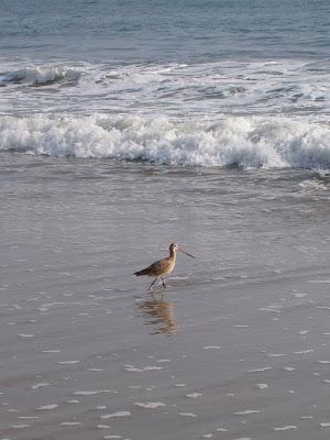 Santa Monica beach birdlife