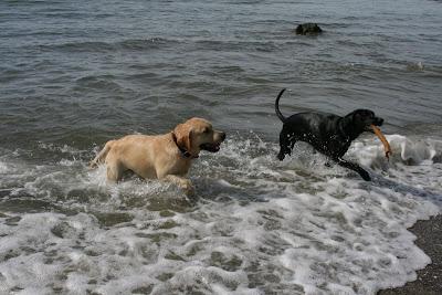 Cooper and pal chase sticks at a Santa Barbara beach