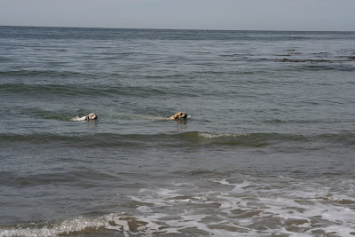 Pup swimming with a pal at Arroyo Burro Beach
