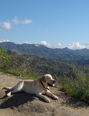 Yellow Labrador Cooper in Hollywood