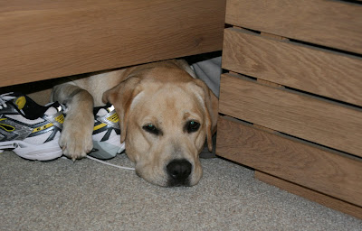 Labrador Cooper under the bed