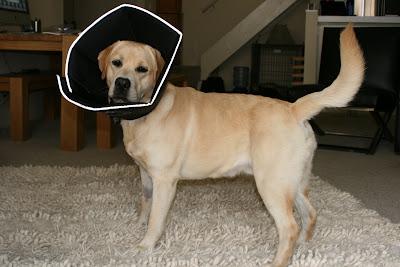 Proud Labrador Cooper