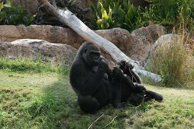 Gorillas at LA Zoo