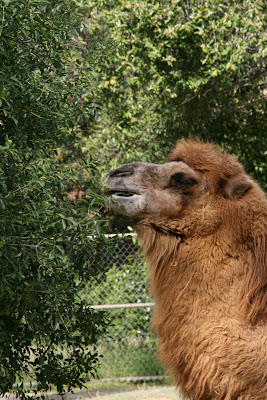 Camel at LA Zoo
