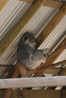 LA Zoo Koala Bear