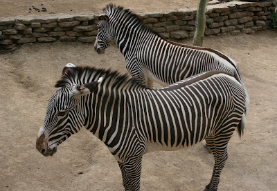LA Zoo zebras