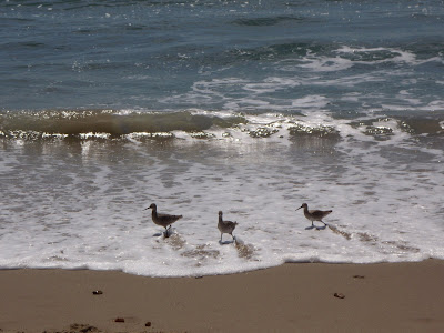 Wading birds at Zuma Beach, Malibu