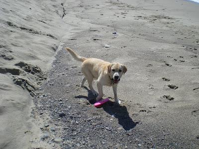 Pink frisbee Labrador