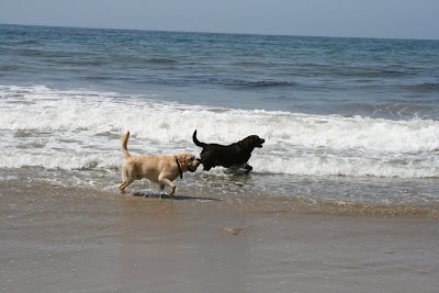 Labradors at Arroyo Burro Dog Beach