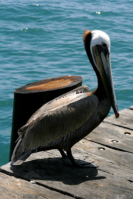 Pelican at Stearns Wharf in Santa Barbara