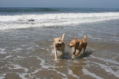 Dog beach puppy pals