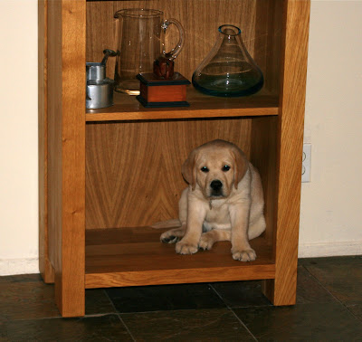 9 week old puppy bookcase Cooper