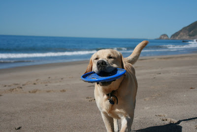 Happy frisbee Cooper at the beach