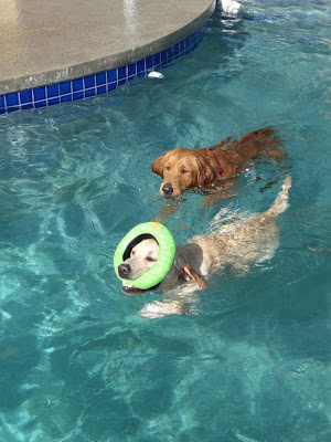 Retrievers swimming in pool