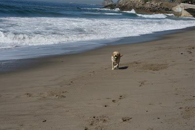 Sycamore Cove Labrador Cooper