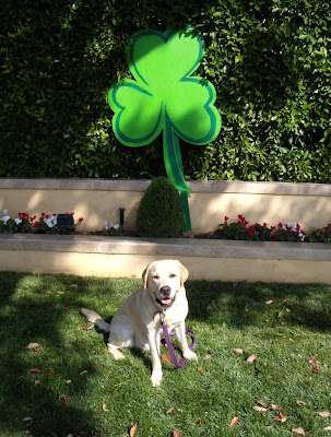 St Patrick's Leprechaun puppy