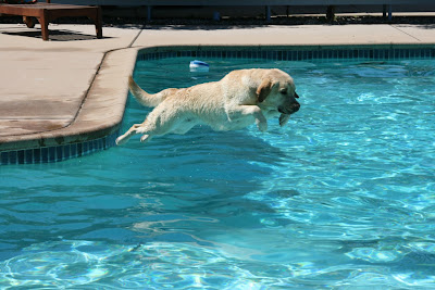 Perfect diving Labrador