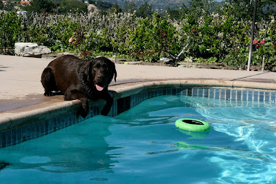 Chocolate poolside Labrador Woody
