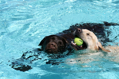 Labrador pup pool games