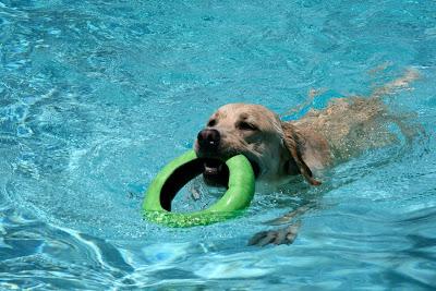 Swimming pool fetch fun