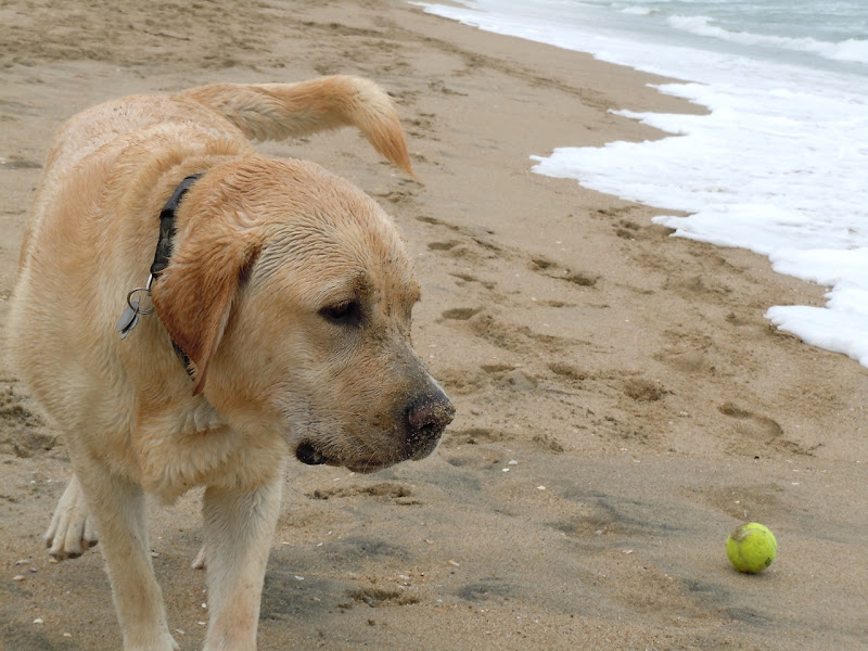 Huntington Beach yellow Labrador