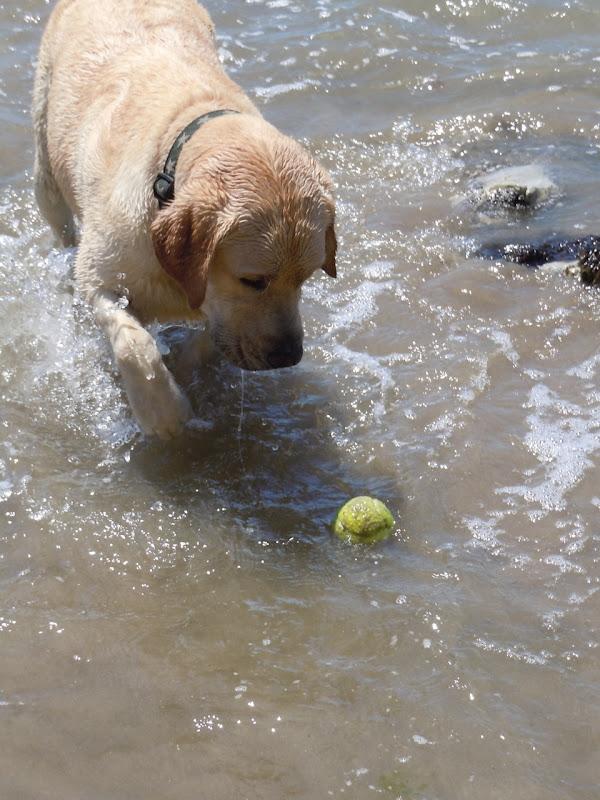 Hendry's Beach Yellow Labrador Retriever