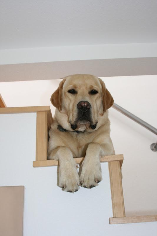 Big Paws Labrador Cooper