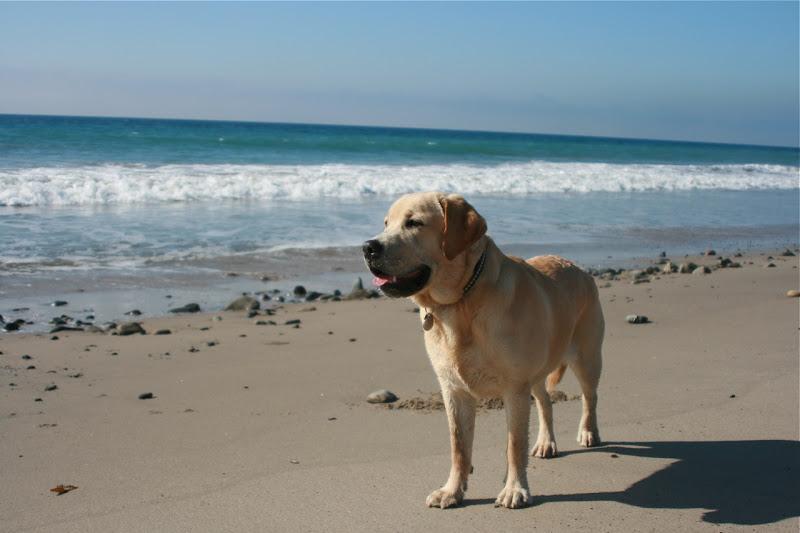 Beach Labrador Jan 09
