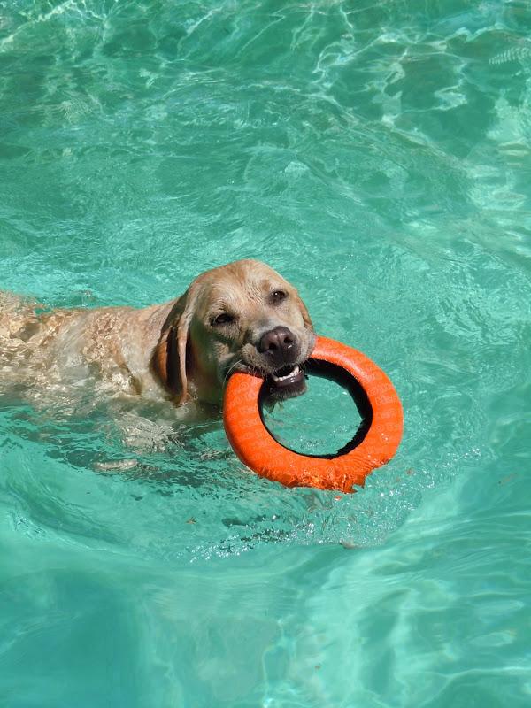 Labrador Cooper's toy Aug 10