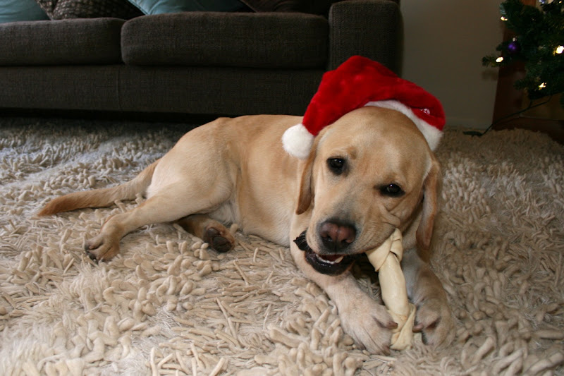 Christmas Labrador Cooper