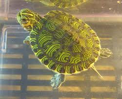 Types Of Freshwater Turtles Some of these turtles are:
