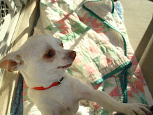Chuckie the Chihuahua