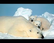 Oso Polar!