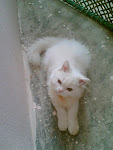 Snowie The Persian Cat