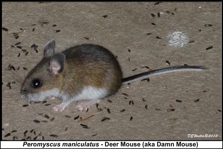 Deer Mouse Droppings