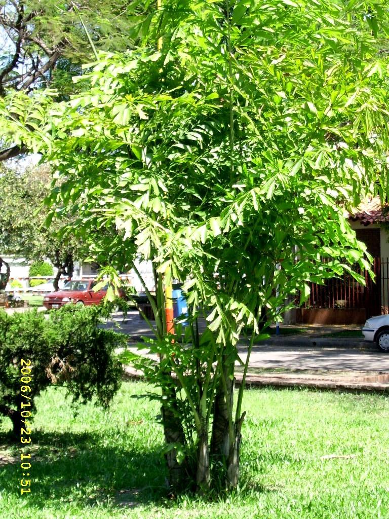 Palmeras plantas ornamentales por excelencia taringa for Algunas plantas ornamentales