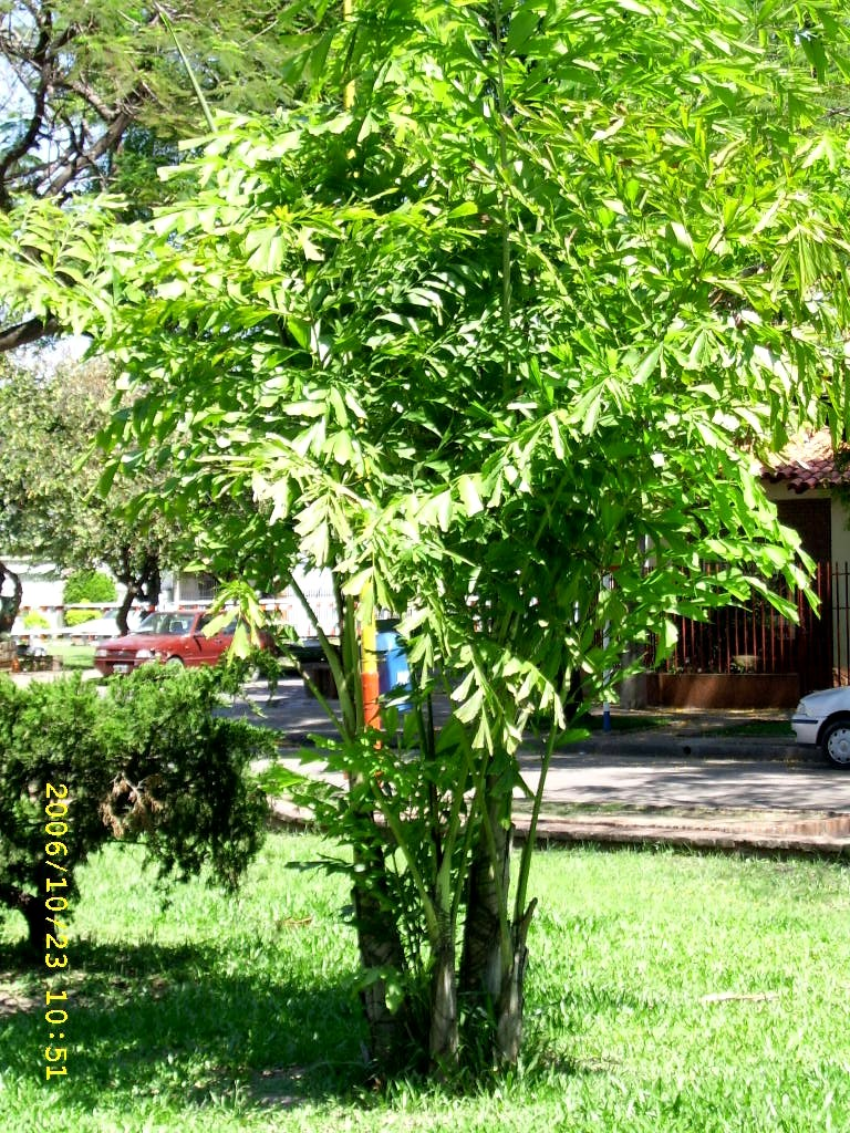 Palmeras plantas ornamentales por excelencia taringa for 6 plantas ornamentales