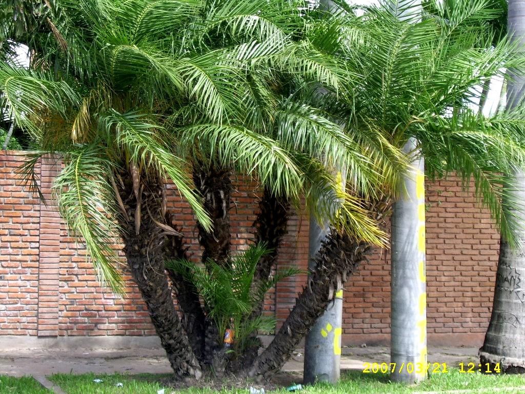 Tipos de palmeras palmeras para jardines for Tipos de plantas para jardin