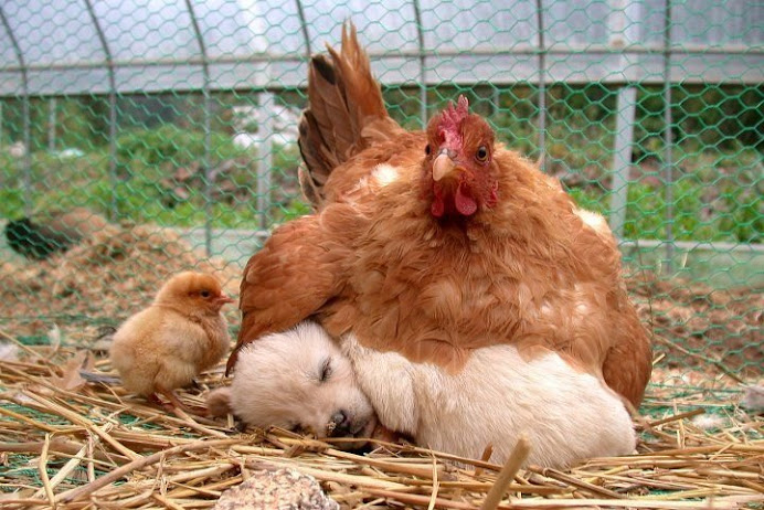 The hen who loves her puppy
