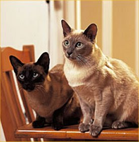 Tonkinese Kittens and Cats
