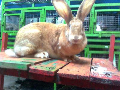 kelinci flemish giant 8 kg