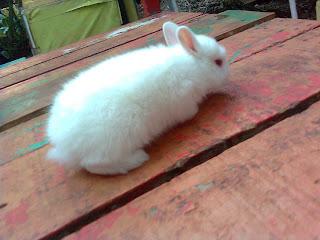 jual kelinci netherland dwarf putih
