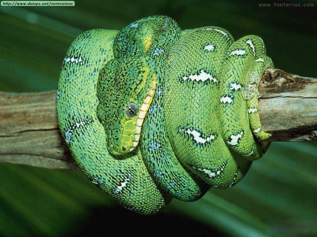 http://4.bp.blogspot.com/_GWXP5kG8d9s/TU42mEL80TI/AAAAAAAAACg/EwdStA-GDA4/s1600/serpiente_verde_1024.jpg